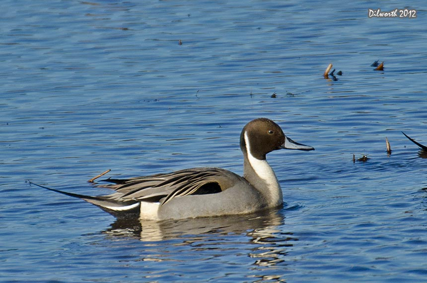 1048 Northern Pintail