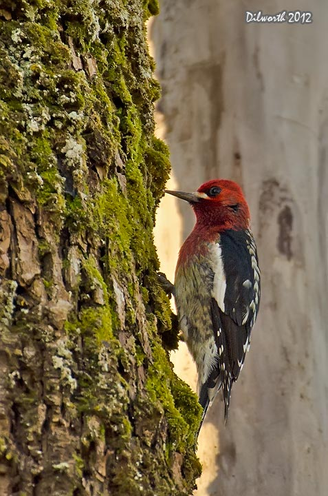v1049 Red-breasted Sapsucker