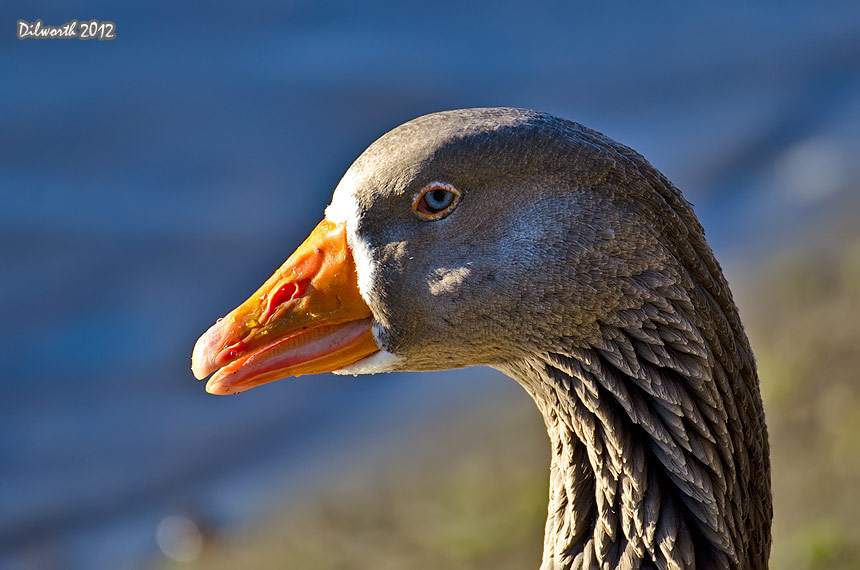 1054 Domestic Goose