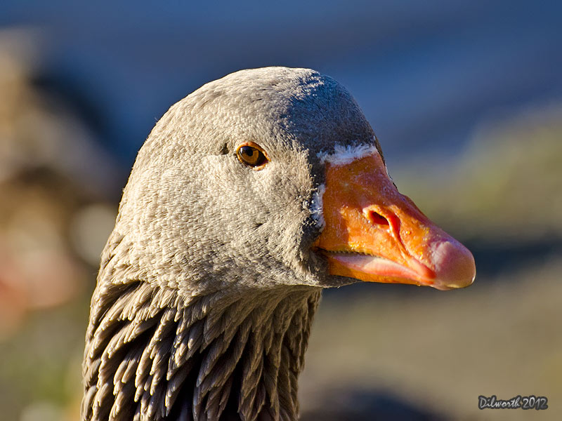 1054m Domestic Goose