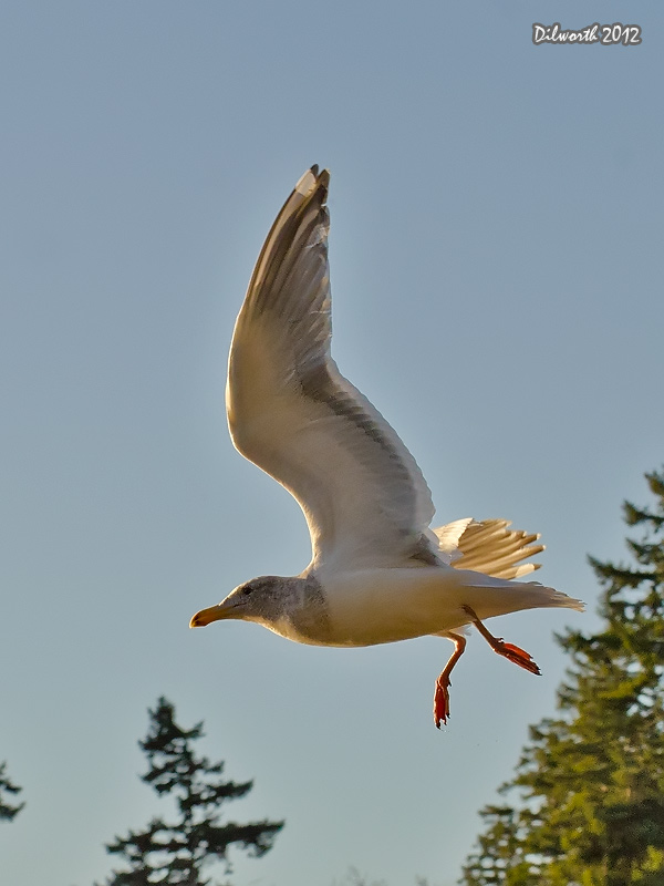 v1055 Gull Flight Shots
