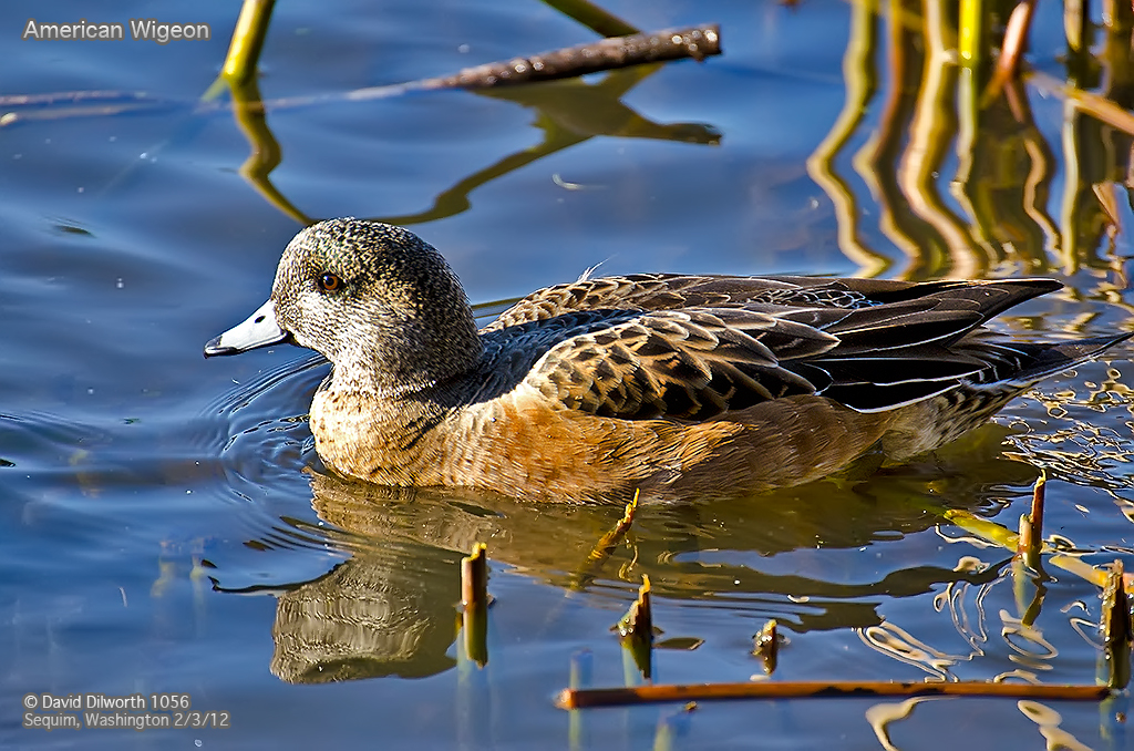 1056m1 American Wigeon