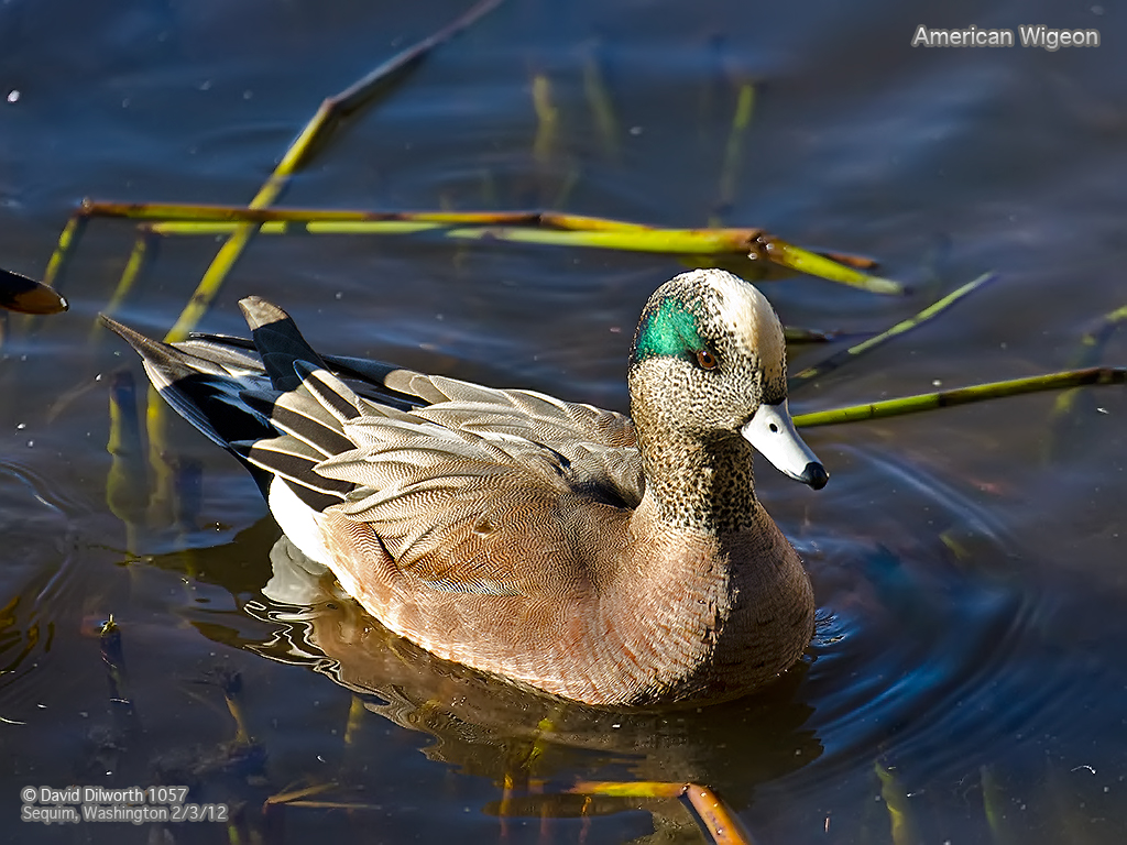 1057m1 American Wigeon