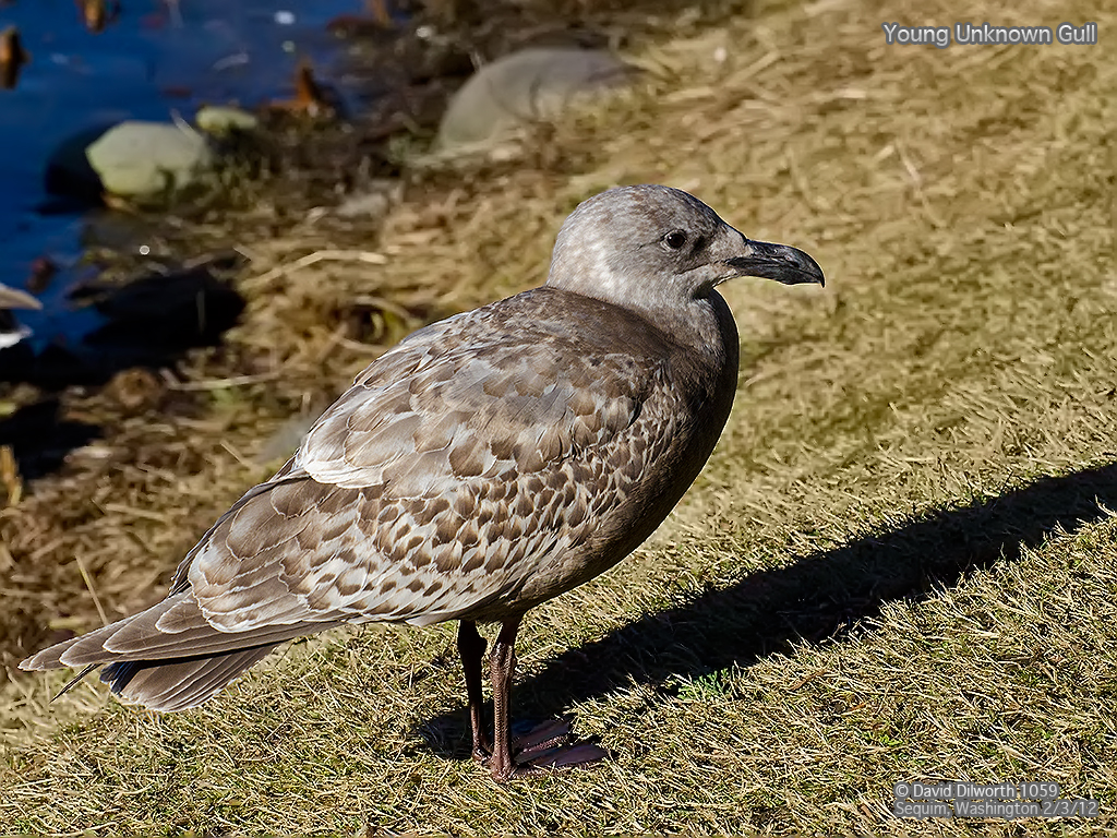1059 Young Unknown Gull