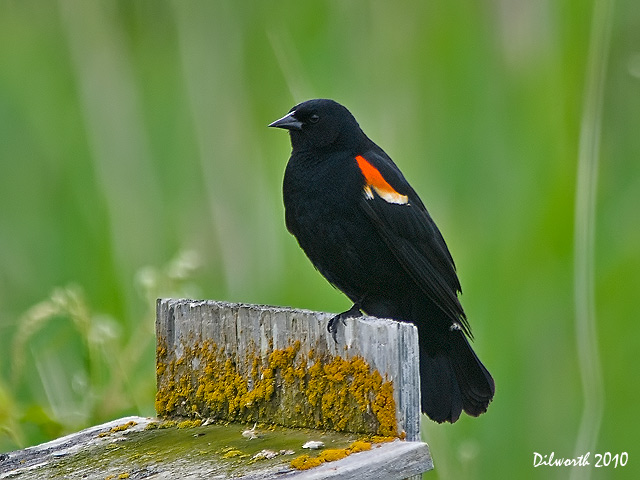 862 Red-winged Blackbird