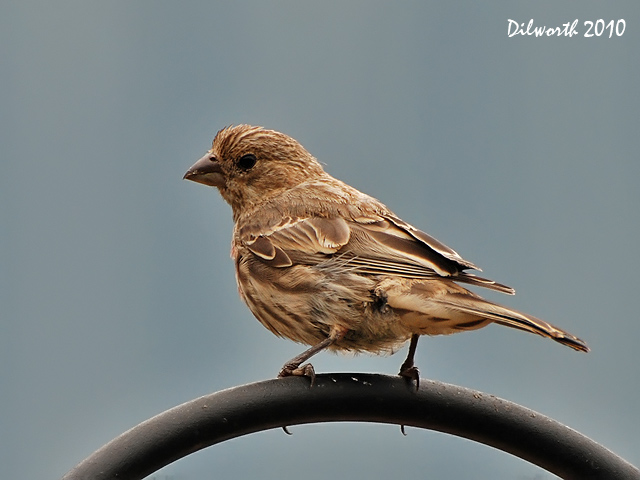 863 House or Purple Finch