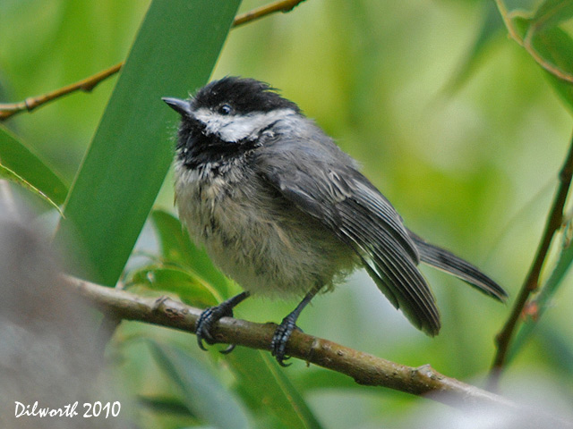 869 Black-capped Chickadee