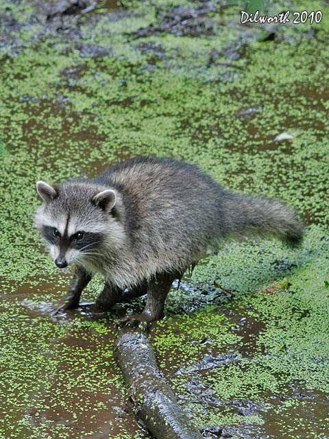 v870m Raccoon