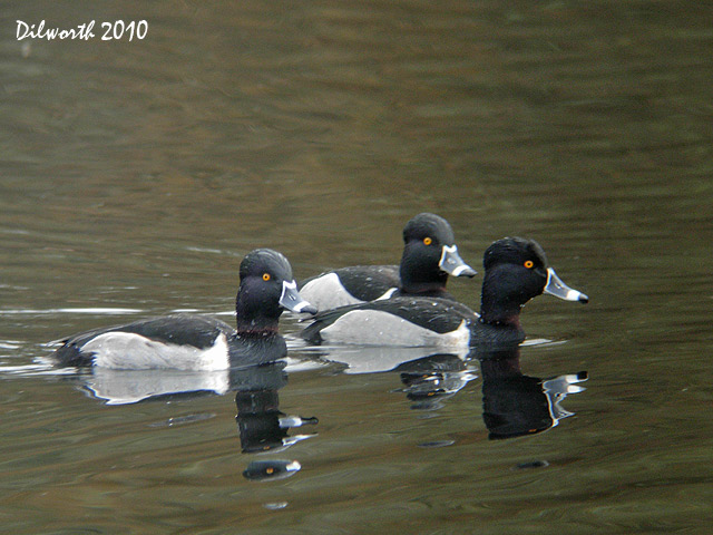872 Ring-necked Duck