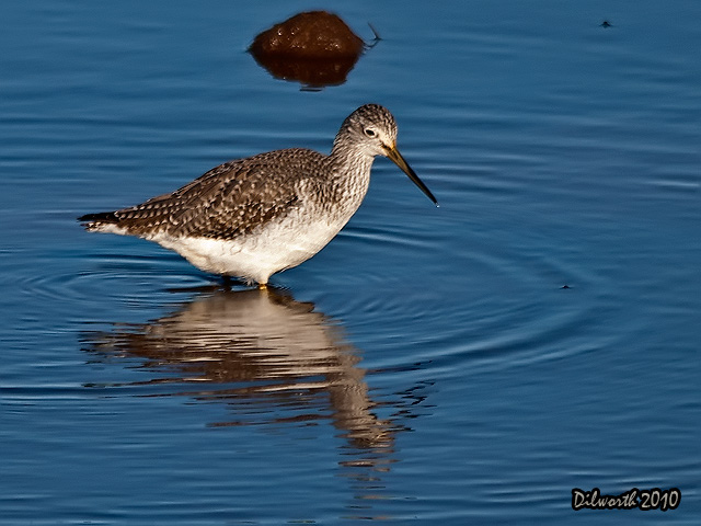 889 Greater Yellowlegs
