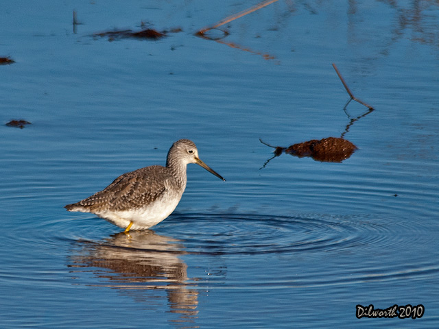 889m Greater Yellowlegs