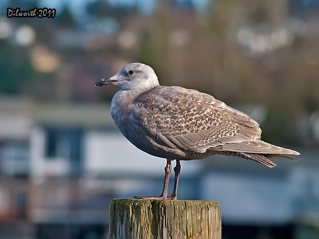 893 Unknown Juvenile Gull