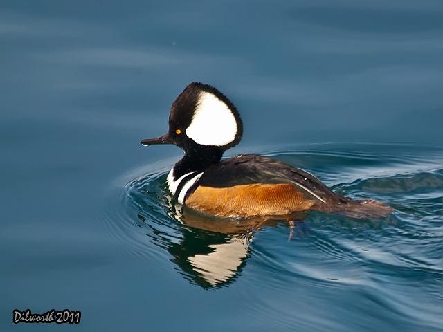894 Hooded Merganser