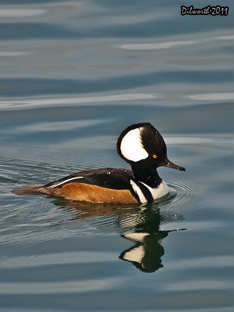 v894m1 Hooded Merganser