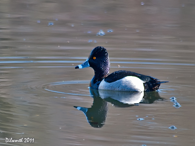 895 Ring-necked Duck