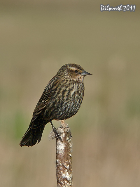 v899 Red-winged Blackbird
