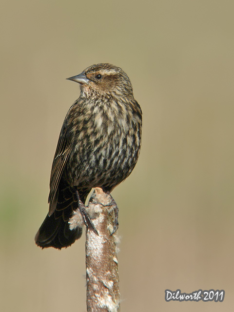 v899m Red-winged Blackbird