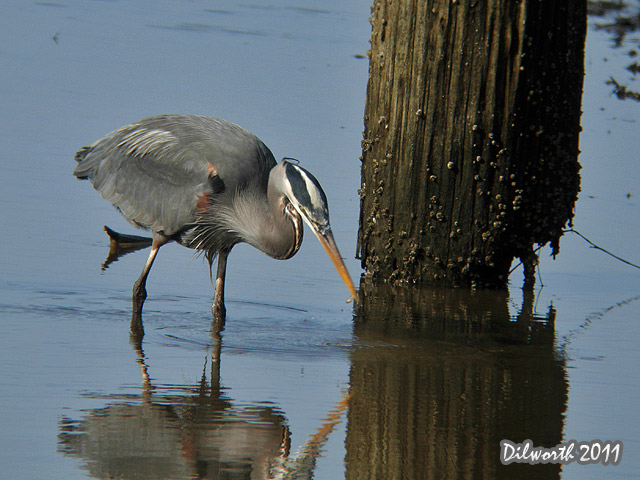 900m Great Blue Heron