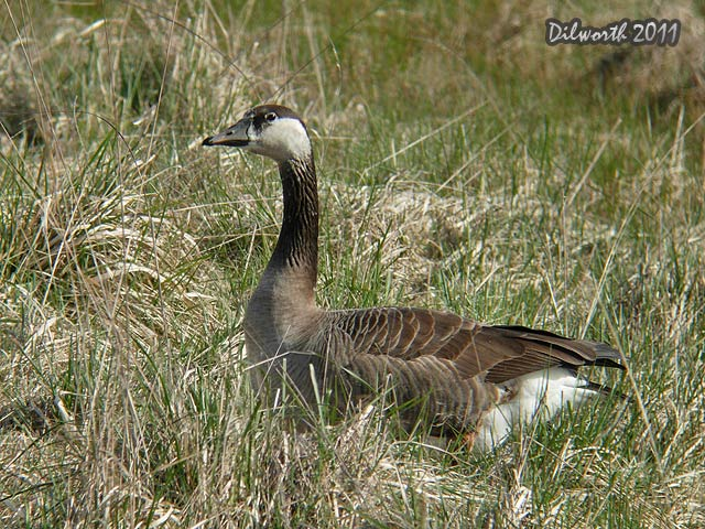 901 Canada and Greater White-fronted Geese