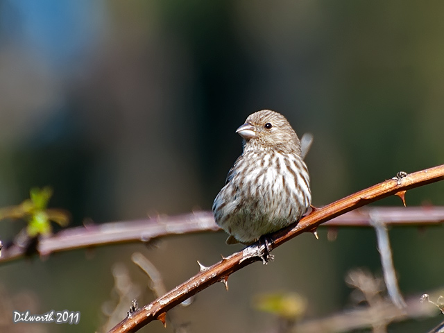 906m1 House Finch