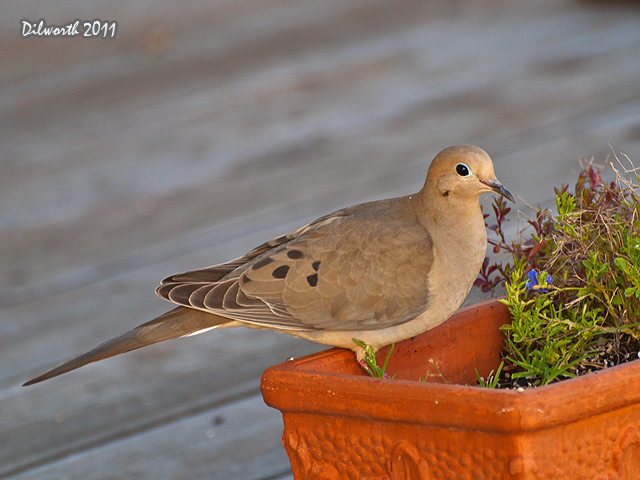915 Mourning Dove