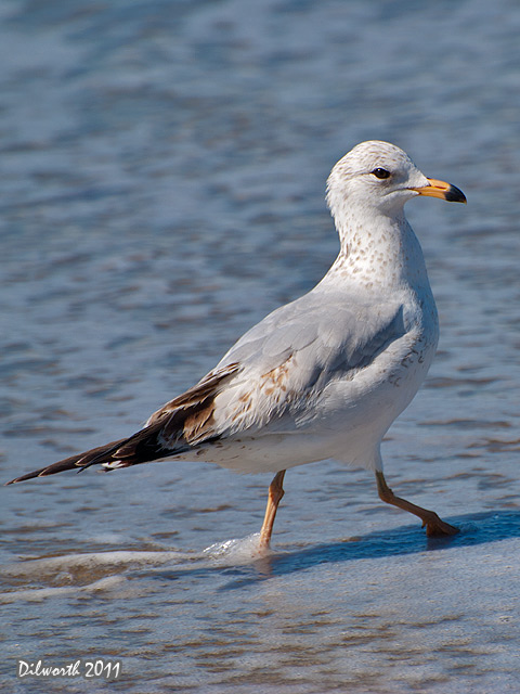v920 Ring-billed Gull