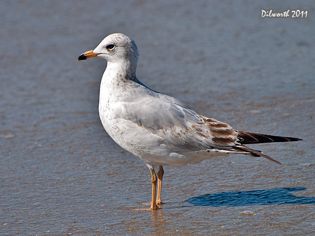 920m Ring-billed Gull