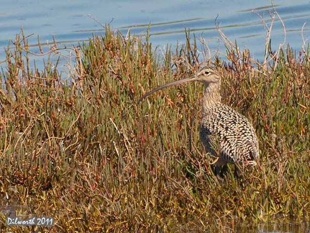925 Long-billed Curlew
