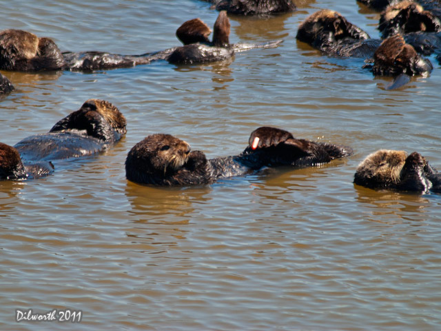 927 Sea Otters
