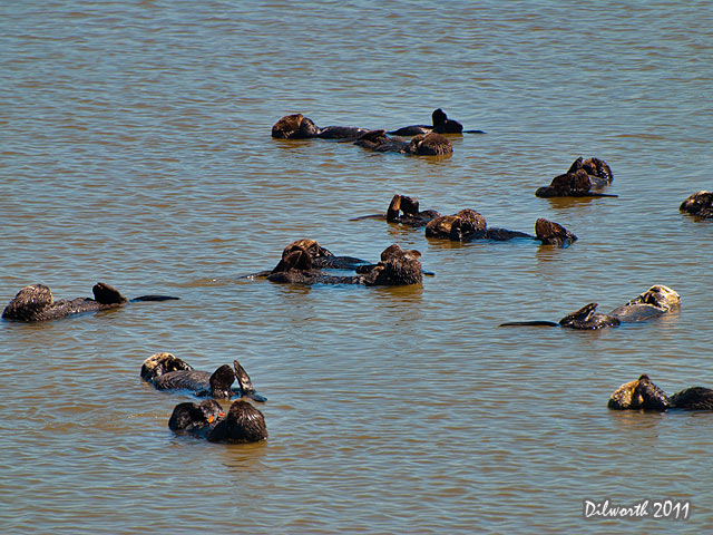 927m Sea Otters