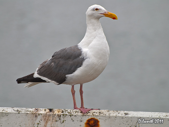 934 Herring Gull