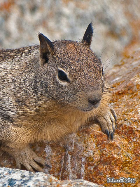 v936 Ground Squirrel