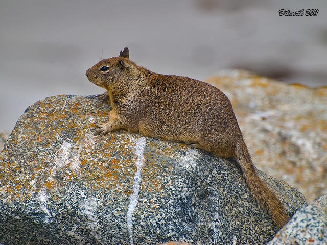 936m2 Ground Squirrel