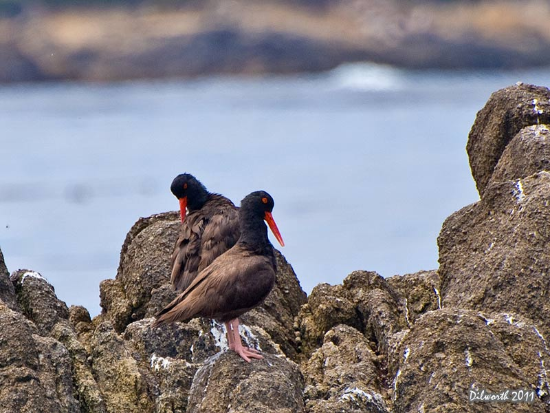 937m Black Oystercatcher