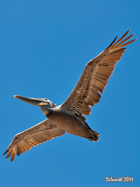 v938 Brown Pelican