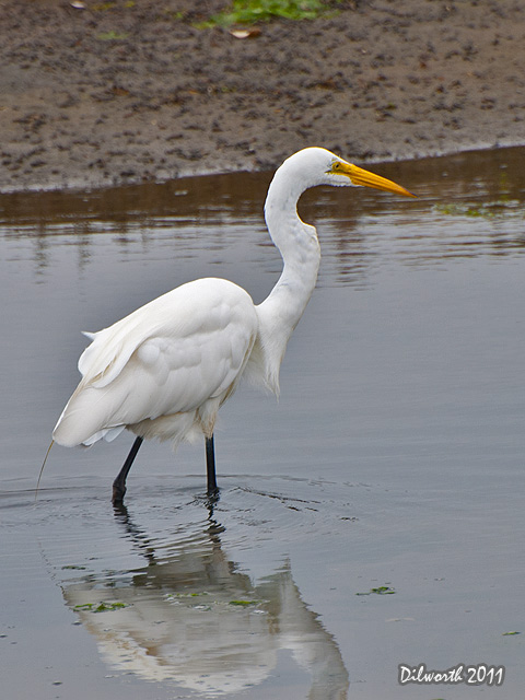 v939 Great Egret