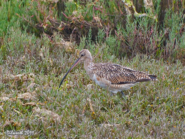 941 Long-billed Curlew