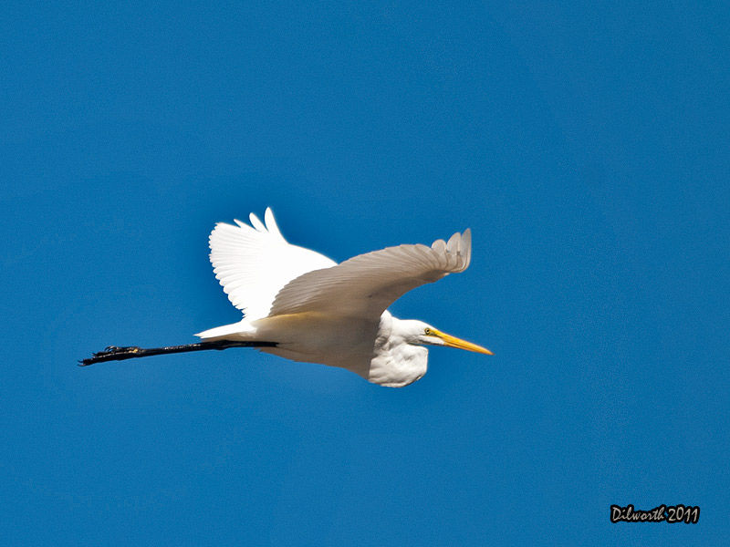 948 Great Egret