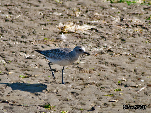 957 Black-bellied Plover
