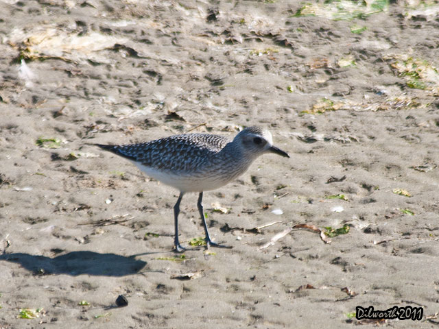 957m1 Black-bellied Plover
