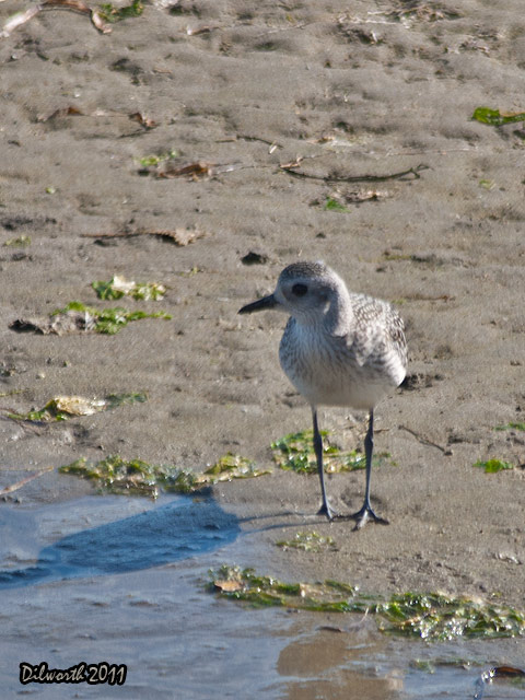 v957m2 Black-bellied Plover
