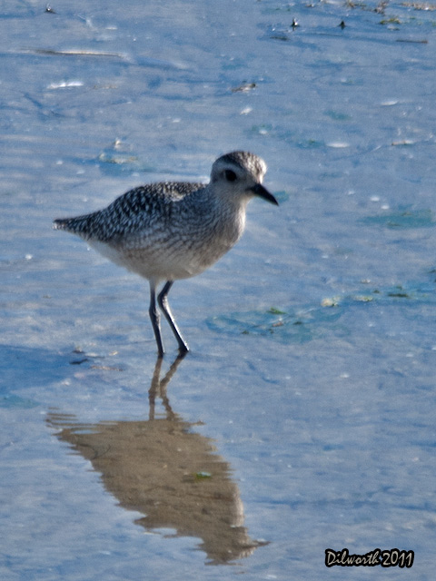 v957m3 Black-bellied Plover
