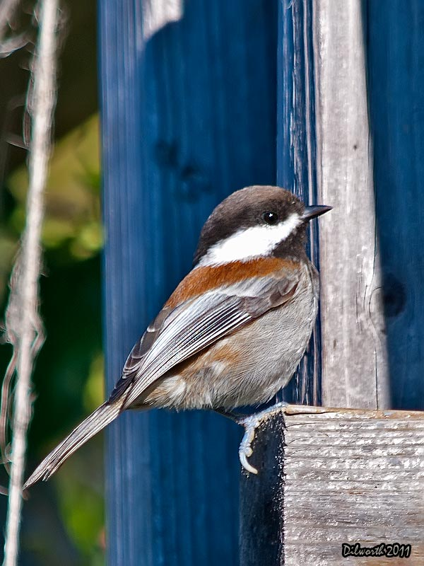 v965 Chestnut-backed Chickadee