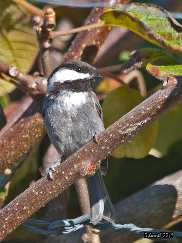 v965m Chestnut-backed Chickadee