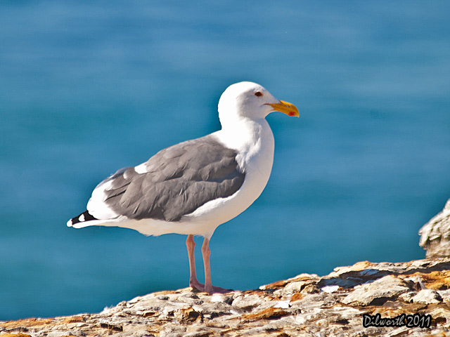 966 Herring Gull