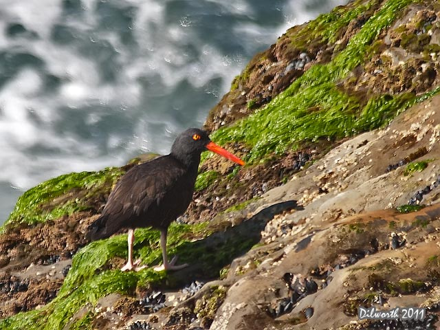 967 Black Oystercatcher