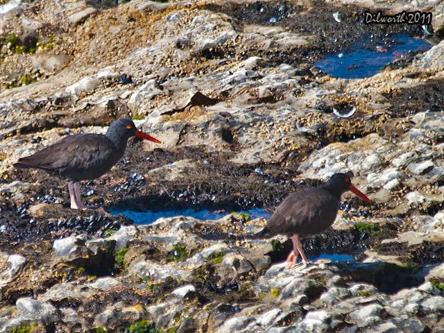 967m1 Black Oystercatcher