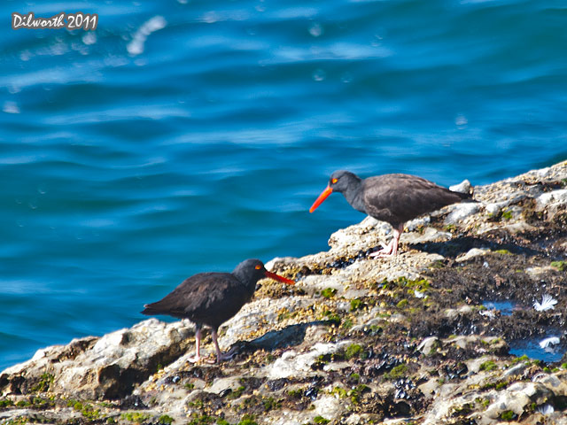 967m2 Black Oystercatcher
