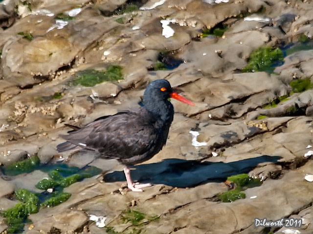 968 Black Oystercatcher
