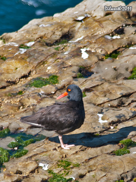 v968m2 Black Oystercatcher